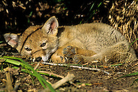 Wild Coyote (Canis latrans) pup resting beneath bush.   Western U.S., June.