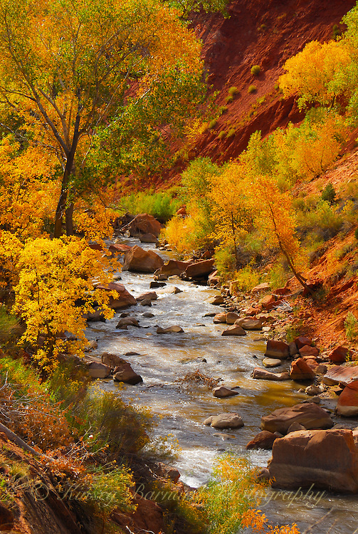 The Virgin River in Zion National Park, Utah in all it's fall splendor. Beautiful, golden cottonwoods stand along the shore as the river flows by.