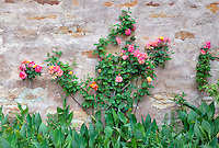 Gardens with roses at the Carmel Mission. Carmel by the Sea, California.
