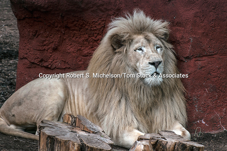 white lion male full body view laying down
