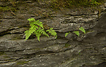 ferns on cliff face