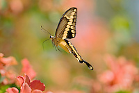 Giant Swallowtail Butterfly (Papilio cresphontes) flying between blossoms while nactaring on flowers..
