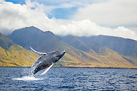 A breaching humpback whale, Megaptera novaeangliae, off the West side of the island of Maui, Hawaii, USA, Pacific Ocean, digital composite