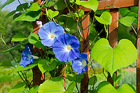 Morning glory blooms, Maine, Community Garden, USA