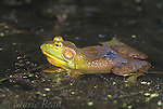 Bullfrog (Rana catesbeiana), male, with dragonfly (Dot-tailed Whiteface Leucorrhinia intacta) perched on its  back, New York, USA<br /> Slide # A2-21