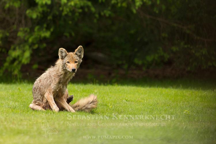 Coyote (Canis latrans) female, Gloucester, Cape Ann, eastern Massachusetts
