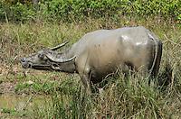 A muddy Asian Water Buffalo (Bubalus bubalis) scratches its shoulder with its horn. (Prey Veng, Cambodia)