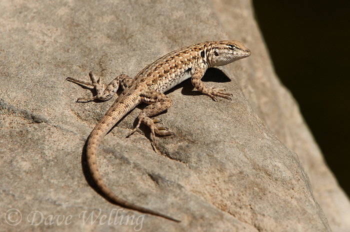 442690001 a wild western side-blotched lizard uta stansburiana elegans sits on a rock in piru creek los angeles county california