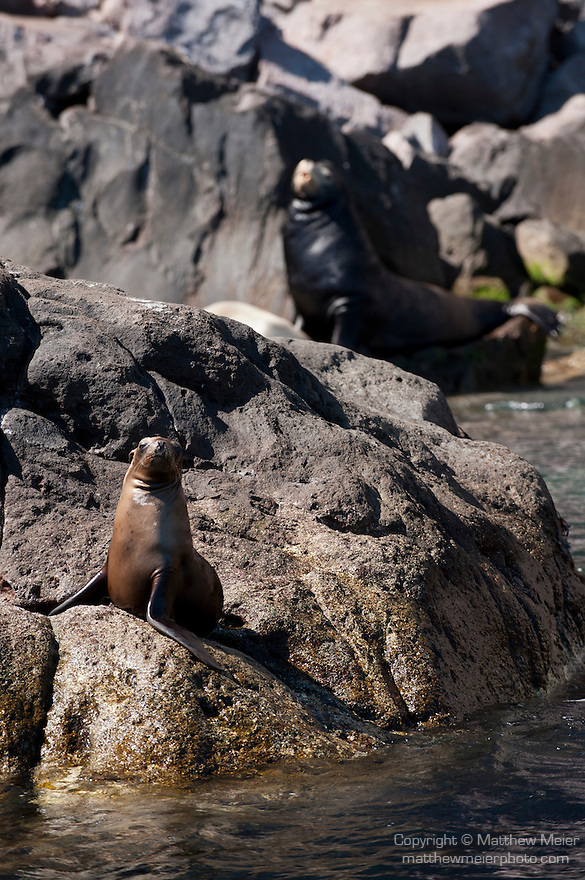 Sea of Cortez, Baja California, Mexico; a juvenile California Sea Lion (Zalophus californianus) hauled out on the rocky shoreline at the water's edge