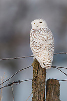 Female Snowy Owl (Bubo scandiacus) perched on a fence post. Ontario, Canada. December.