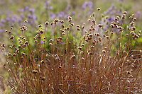 Juncus occidentalis, Western Rush, California native plant