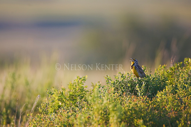 Western Meadowlark singing from bushes at sunset in the National bison Range in Montana