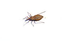 """no Brasil tem um nome pomposo: Triatoma,mas é vulgarmente conhecido por váriasalcunhas, como bicho-de-parede, bicho-de-frade, gaudério, procotó, rondão, chupançae barbeiro.Uma descrição sucinta do Triatoma diria queé um inseto com perto de 2 centímetros decomprimento, asas achatadas, largas elistradas nas bordas, não muito diferente deuma barata doméstica comum, mas com umferrão comprido. Ao contrário da barata,porém, é hematófago, ou seja, alimenta-sede sangue. E sua ação devastadora temcausado anualmente milhares de mortes emtoda a America Latina, desde o norte doMéxico até o centro do Chile e da Argentina.Este bicho assassino tem hábitos altamentesuspeitos. Durante o dia, esconde-se nomadeirame e nas frestas das paredes debarro de casebres e choças de pau-a-pique.De noite, valendo-se da escuridão, sai deseu esconderijo e vai picar os moradoresque se encontram dormindo. O pior de tudoé que, além de chupar o sangue daspessoas, defeca, também, ao mesmotempo. E é pelas fezes que transmite adoença de Chagas.O nome científico da doença de Chagas é Tripanossoma cruzi.Os sintomas qu podemparecer inicialmente são: febre, mal estar,falta de apetite, dor ganglionar, inchaçoocular e baço.Os principais meios para o diagnóstico dadoença de Chagas em sua forma aguda é oexame microscópico de uma gôta de sanguedo paciente, para a eventual identificação doTrypanosoma, ou a biopsia de um gângliolinfático. Na forma crônica, porém, osparasitos tornam-se raros na corretesangüínea e, então, o diagnóstico devebasear-se em método indireto: verifica-se seo organismo está produzindo anticorposcontra o Trypanosoma cruzi. Para isso faz-se uma prova imunológica com o sorosangüíneo do doente, denominada """"reaçãode fixação do complemento para a doençade Chagas"""" ou """"reação de Guerreiro eMachado"""", ou de """"Machado Guerreiro"""" comoé mais comumente conhecida.Até agora a doença de Chagas não temcura científicamente reconhecida. Enquantoo"""