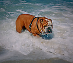 Bull Dog playing in the ocean