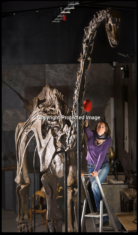 BNPS.co.uk (01202 558833)<br /> Pic: PhilYeomans/BNPS<br /> <br /> £600,000 Dino sale...<br /> <br /> Kate Diment from Summer Place Auctions in Billingshurst West Sussex dusts off the enormous Diplodocus longus skeleton that is the first of its kind to be aucioned in Europe.<br /> <br /> Unlike the famous Diplodocus in the Natural History Museum in London, this 150 million year old specimen is not a copy. Its huge frame was unearthed by two children in a disused quarry in Wyoming three years ago. <br /> <br /> However potential buyers might struggle to find somewhere in their homes to put the 56 foot long dinosaur.