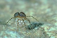 Speispinne, Spei-Spinne, mit Eikokon, Eiern, Scytodes thoracica, spitting spider, Speispinnen, Scytodidae