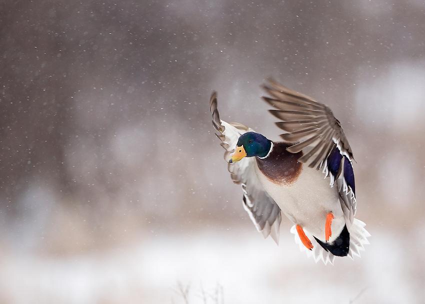 Snow flies as this drake mallard lands near a pond in Minnesota.