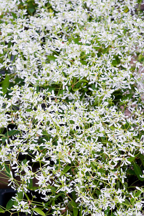 Euphorbia Diamond Frost, frothy plant for containers, with billowing little white flowers