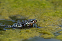 438950044 a wild adult texas indigo snake drymarchon corais erebennus swims and drinks in a small pond on dos venadas ranch starr county rio grande valley texas united states