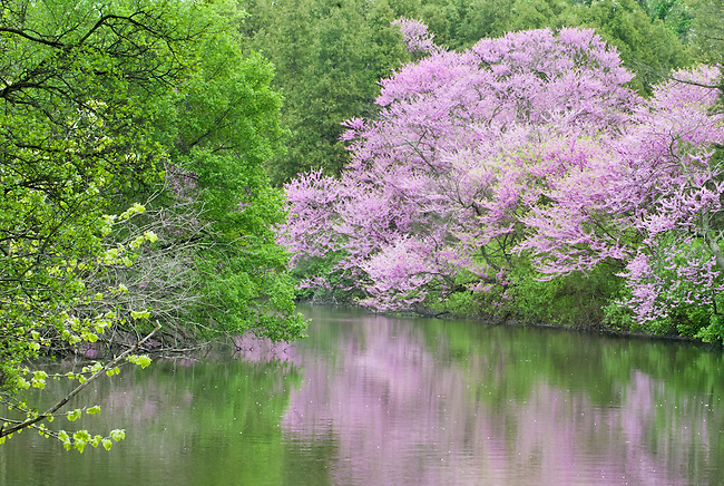 Spring colors in the redbud trees contrast with the  surrounding foliage on the shore of Lake Marmo at the Morton Arboretum in DuPage County, Illinois