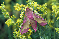 Small Elephant Hawk-moth - Dielephila porcellus