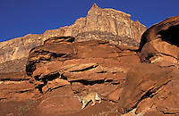 COUGAR/MOUNTAIN LION/PUMA..Near Canyonlands National Park,.Utah. Autumn. (Felis concolor).