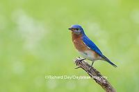 01377-17810 Eastern Bluebird (Sialia sialis) male in flower garden, Marion Co., IL