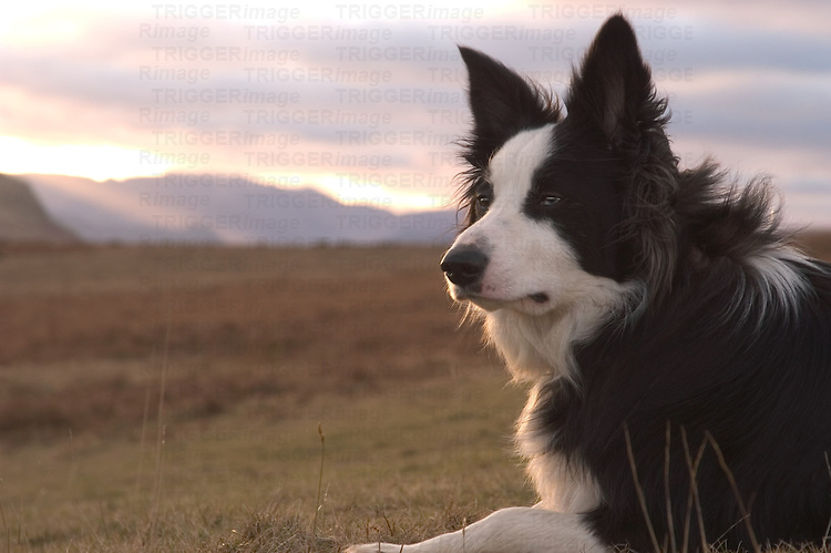 A black and white sheepdog in open countryside