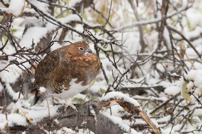 Willow Ptarmigan (Lagopus lagopus) in the snow, Denali National Park, Alaska