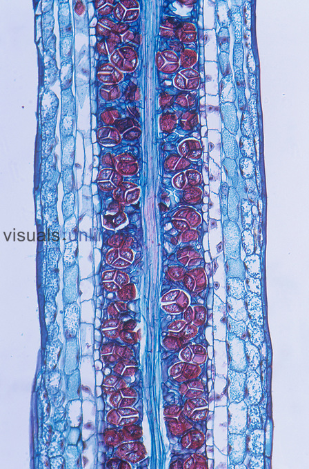 Longitudinal-section of a Hornwort sporophyte spore region (Anthoceros). LM X30.