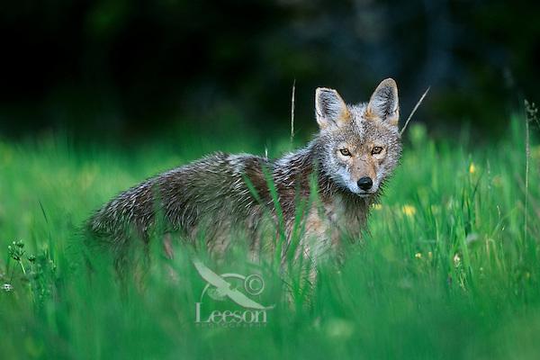 Coyote (Canis latrans) in meadow, Western U.S., summer.