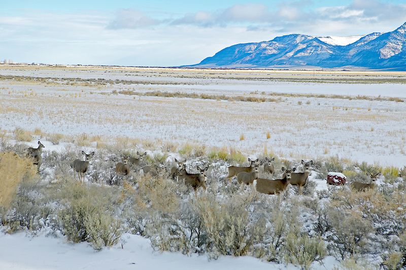 Mule deer in snowy pasture near Adel, Oregon