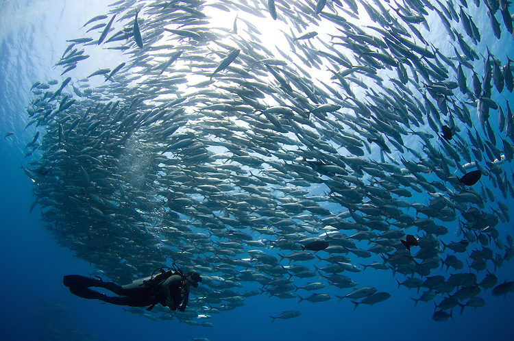 A diver looks on at schooling Jacks (Caranx sexfasciatus) at Mary Island, Solomons