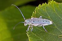 Grüner Lindenbock, Grüner Lindenbockkäfer, Achtpunktiger Pappelbock, Saperda octopunctata, Longhorn beetle
