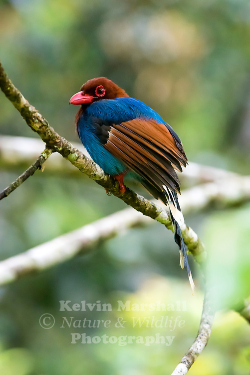 Sri Lanka blue magpie or Ceylon magpie (Urocissa ornata) is a member of the crow family living in the hill forests of Sri Lanka, where it is endemic. Sinharaja Forest Reserve,Sabaragamuwa Province - Sri Lanka.
