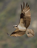 Adult female osprey in flight against a hillside background as she patrols her nesting territory.<br />