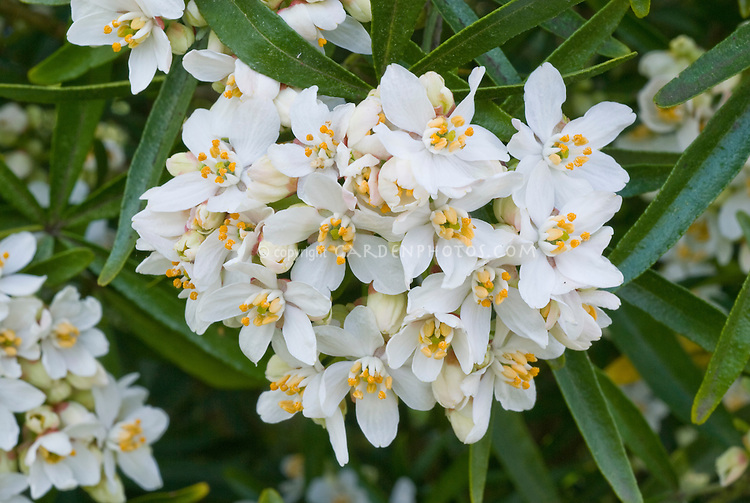 Choisya aztec pearl in white flowers plant flower stock choisya ternat aztec pearl shrub in white flowers in spring april flowering shrub mightylinksfo