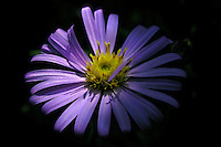 Purple Aster in Glacier National Park, Montana. Photo by Jason Cohn