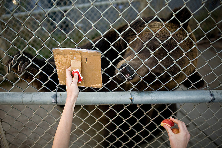 Heidi Keen, a doctoral student at Washington State University pushes the clicker and rewards John -- a grizzly bear -- with a piece of apple when he touches the right color cue with his paw during a cognitive bias task test at the Bear Research Center in Pullman, Wash.. Keen's research evaluates the psychological impact of environmental enrichment for grizzly bears. ..(Matt Mills McKnight for The Wall Street Journal)