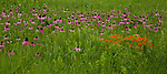 Coneflower field at the Schulenberg Prairie, Morton Arboretum, Lisle, IL