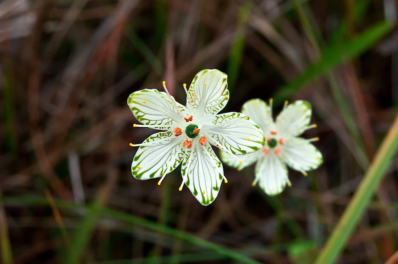 This incredibly ornate wildflower grows in standing water in the wetlands of the Apalachicola National Forest in winter. Not the most comfortable subject to photograph , I must say!