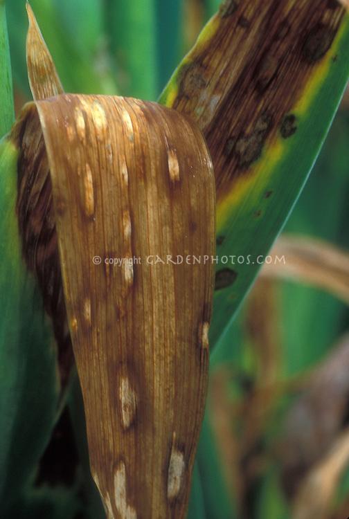 Iris bacterial ink spot disease (Drechslera iridis)
