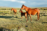 USA, Wyoming, Encampment, two mares and a colt standing in a pasture, Big Creek Ranch