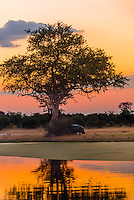 A hippo leaving the water after sunset, Kwando Concession, Linyanti Marshes, Botswana.