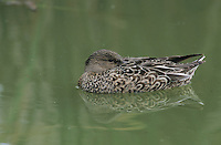 Northern Shoveler, Anas clypeata,female resting, Port Aransas, Texas, USA, February 2003
