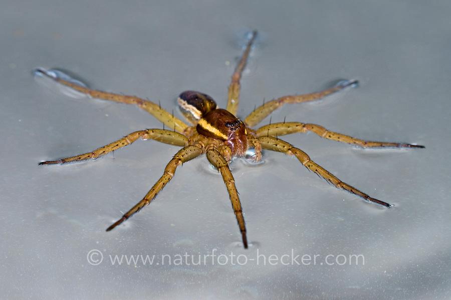 Gerandete Jagdspinne, Listspinne, läuft auf Wasseroberfläche, Dolomedes fimbriatus, raft spider, raft-spider, la Dolomède des marais, Raubspinnen, Pisauridae