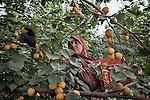 05/06/14. Goktapa, Iraq. Rahima among the tress collecting fruit in Mr. Abdullah farm.