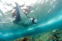 Manta Ray, Manta birostris, by island with crashing waves, Manta Alley dive site, Padar Island, Komodo National Park, Indonesia, Indian Ocean