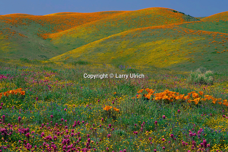 Goldfields, purple owl's-clover<br />   and California poppies, Portal Ridge<br /> Antelope Valley, Mojave Desert<br /> Los Angeles County,  California