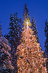 Outdoor Christmas holiday lights on pine tree in winter, Dorrington, Calaveras County, California